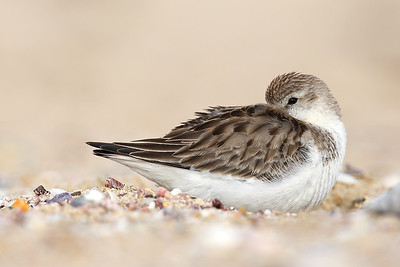 Red-necked Stint (Calidris ruficollis) non-breeding plumage.