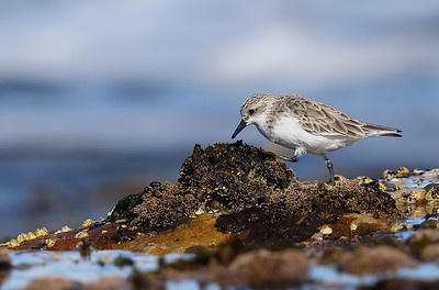 Red Necked Stint (Calidris ruficollis)