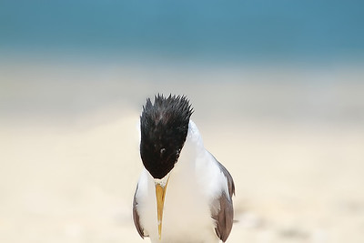 Crested Tern (Thalasseus bergii) adult.  Photos by Meadow Bell - http://meadowbell.smugmug.com