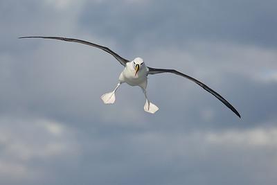 Landing gear down, Albatross preparing to land