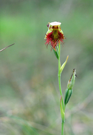 Red Beard Orchid - Calochilus paludosus