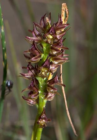 Prasophyllum appendiculatum - Tailed Leek orchid