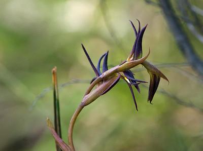 Brown Beaks -  Lyperanthus suaveolens