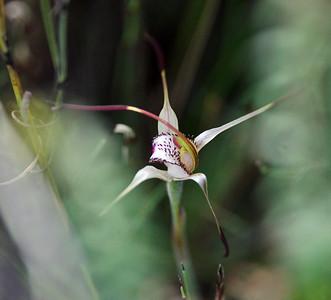 Mellbloms Spider Orchid - Arachnorchis hastata