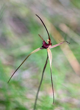 Wine-lip Spider Orchid - Arachnorchis oenochila