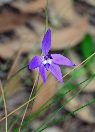 Wax-lip Orchid - Glossodia major
