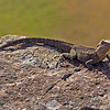 I found this sun worshipper on top of a rocky cliff at Point Danger - a lot of his friends were there too.<br /> Not sure what he is - he is some sort of monitor - like a Water Dragon - maybe someone can enlighten me.