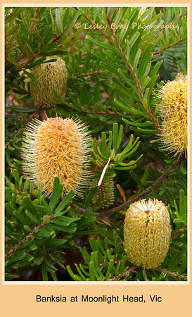 Banksia at Moonlight Head on the Great Ocean Road, Victoria, Australia.  Photographed February 2012 - © 2012 Lesley Bray Photography - All Rights Reserved