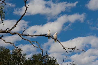 Cuckatoos at Bourke 03 May 2010