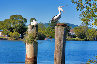 Saturday 3 May 2008 - Pelicans at Tumbulgum on Tweed River.