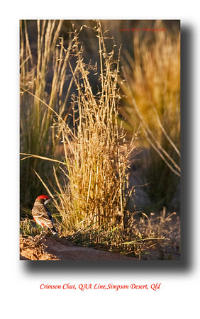 Found this colourful male Crimson Chat in the shadows of the late afternoon sun near our campsite beside the QAA Line in the Simpson Desert in Outback Queensland.  Epthianura tricolor  Photographed August 2010