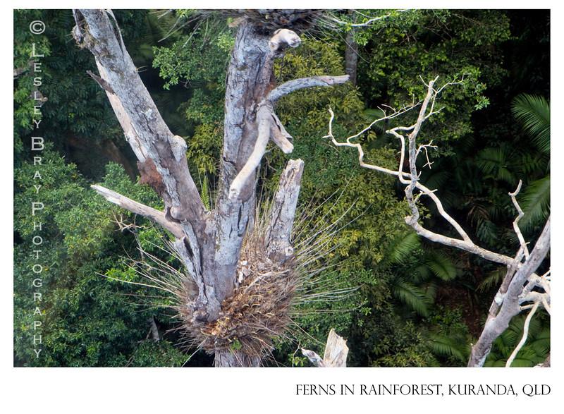 Ferns in Rainforest