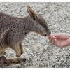 Mareeba Rock Wallaby with Joey