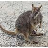 Mareeba Rock Wallaby