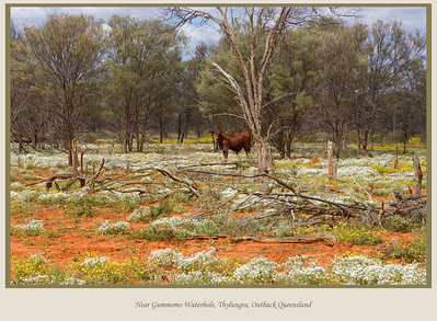 Curious cow stands amongst the wildflowers, northwest of Gummomo Waterhole on the Diamantina Developmental Road in outback Queensland, Australia.  Photographed August 2010 - © 2010 Lesley Bray Photography
