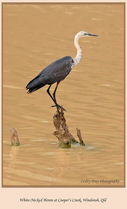 Truly amazing to see the abundance of birdlife in central Australia. White-necked Heron, Pacific Heron, Ardea pacifica, at Cooper's Creek near Windorah, on the Diamantina Developmental Road in outback Queensland, Australia  Photographed August 2010 - © 2010 Lesley Bray Photography