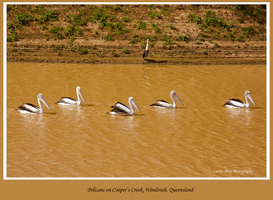 Rain and floods draw birds such as pelicans out to the Channel Country to breed.  Australian Pelicans, Pelecanus conspicillatus, floating up Cooper's Creek, Windorah, on the Diamantina Developmental Road in outback Queensland, Australia.  Photographed August 2010 - © 2010 Lesley Bray Photography