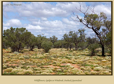 This was the wildflower scene where we stopped for lunch near Thylungra on the Diamantina Developmental Road in outback Queensland, Australia.  Photographed August 2010 - © 2010 Lesley Bray Photography