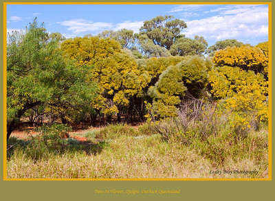 Lots of trees were showing off their spring flowers along the Warrego Highway near Quilpie, Queensland, Australia.  Photographed September 2010 - © 2010 Lesley Bray Photography.