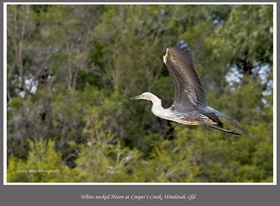 Flying down the lazy river!   This White-necked Heron or Pacific Heron, Ardea pacifica, was flying down Cooper's Creek near Windorah, on the Diamantina Developmental Road in outback Queensland, Australia.  Photographed August 2010 - © 2010 Lesley Bray Photography