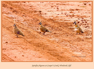 Why Did The Spinifex Pigeon Cross The Road?  I have no idea, yet here they were doing their stuff at Cooper's Crossing near Windorah, on the Diamantina Developmental Road in outback Queensland, Australia.    Geophaps plumifera.  Photographed August 2010 - © 2010 Lesley Bray Photography