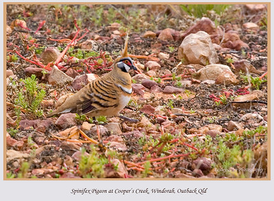 I love how this Spinifex Pigeon, Geophaps plumifera, blends into the environment at Cooper's Creek Crossing near Windorah, on the Diamantina Developmental Road in outback Queensland, Australia.    Photographed August 2010 - © 2010 Lesley Bray Photography