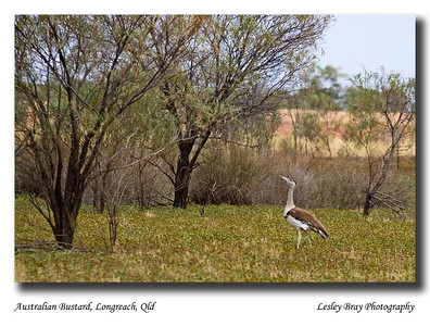 A Bustard in the bush is worth two in the hand - so it is said !  May 2010