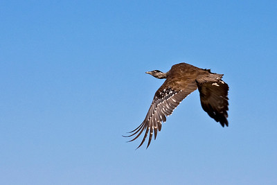 Australian Bustard, the first time I've captured a bird in flight - very exciting !!  13 May 2010