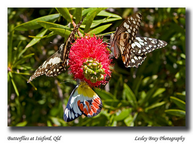 Am amazed at the number of butterflies out here in the west, this was a lucky catch with three butterflies on a callistemon (bottlebrush). Isisford, Queensland.  May 2010