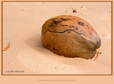 Beached Coconut on Somerset Beach, Cape York Peninsular, Queensland, Australia.   Photographed June 2010 - © Lesley Bray Photography