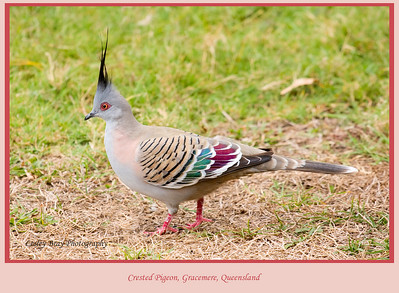 These Crested Pigeon, Ocyphaps (Geophaps) Iophotes, were everywhere at Gracemere, Capricornia Coast of Queensland, Australia.  Photographed August 2010 - © Lesley Bray Photography