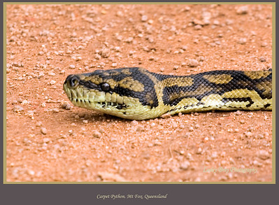 Not sure if this is an Amethystine Python or a Carpet Python on the road at Mt Fox, North Queensland, Australia.   Photographed July 2010 - © Lesley Bray Photography