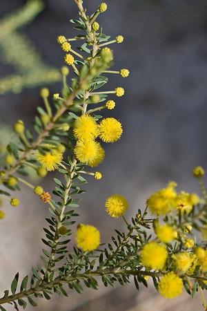Branch of Wattle found at Mt Moffatt section of Carnarvon National Park.  April 2010,