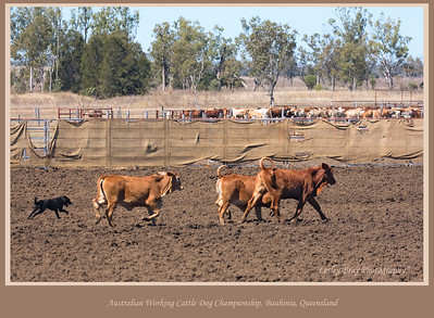 Was a lot of fun watching the dogs working the cattle at the Working Cattle Dog Championships at Bauhinia on the Dawson Highway, Queensland, Australia.  Photographed August 2010 - © Lesley Bray Photography