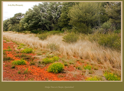 I'm always fascinated by the colours and textures in the bush.  Mulga trees, grass and wildflowers line the road at Cheepie, Queensland, Australia.  Photographed August 2010 - © Lesley Bray Photography