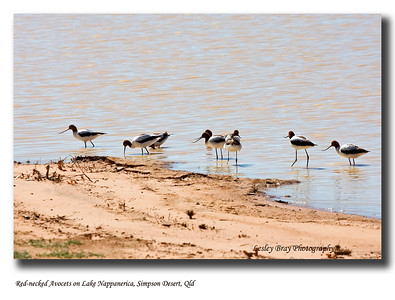 It was exciting to see lots of birds around Lake Nappanerica.  Here are Red-necked Avocets feeding on the outskirts of the lake.  Simpson Desert, west of Birdsville, Outback Queensland.  Recurvirostra novaehollandiae  Photographed August 2010