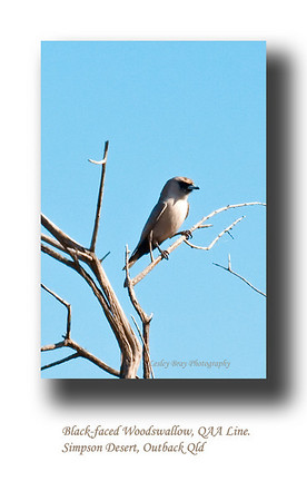 Black-faced Woodswallow, sitting on the edge of the QAA Line in the Simpson Desert in Outback Queensland.  Artamus cinereus  Photographed August 2010