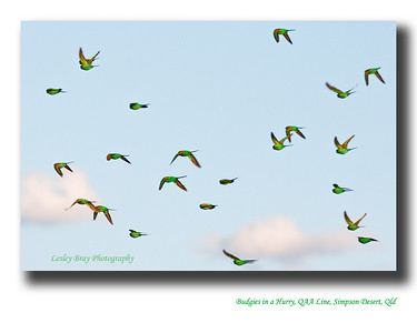 Flocks of wild green budgerigars were continually flying past our campsite, they were very fast and difficult to capture. Budgerigars in the wild are much smaller than the captive varieties.  QAA Line, Simpson Desert, Outback Queensland, Australia  Melopsuttacus undulatus  Photographed August 2010