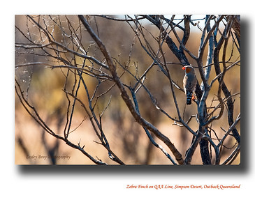 Zebra Finch, sitting in a bush alongside the QAA Line, in the Simpson Desert in Queensland's remote outback, Australia.  These birds never sit still for long, so I felt lucky to capture this one.  Taeniopygia guttata  Photographed August 2010