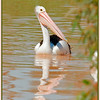 Australian Pelican (Pelecanus conspicillatus) flying low up Cuttaburra Crossing, a permanent waterhole and a renowned wetland located on Eyre Creek between Lake Koolivoo and Lake Machattie.<br /> <br /> Photographed September 2010 - © Lesley Bray Photography