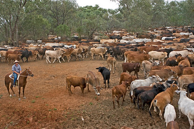 Cattle mustering at Sandy Creek, Longreach, Queensland  16 May 2010