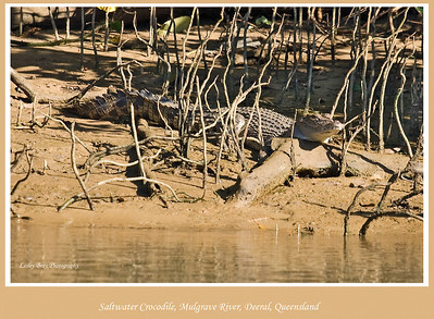 You are being watched !!  Saltwater Crocodile, Crocodylus porosus also known as a Estuarine Crocodile on the Mulgrave River at Deeral, Queensland, Australia.   Photographed July 2010 - © Lesley Bray Photography