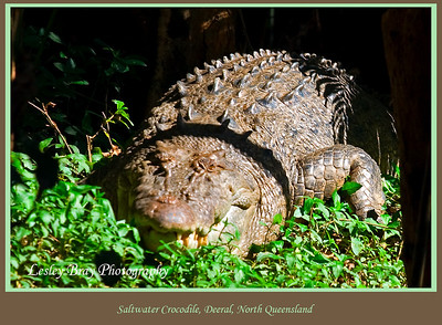 The size of this crocodile in the shadows beside the river scared the living daylights out of me !  Was magic to see a crocodile in the wild though ! Saltwater Crocodile, Crocodylus porosus also known as a Estuarine Crocodile on the Mulgrave River at Deeral, Queensland, Australia.   Photographed July 2010 - © Lesley Bray Photography