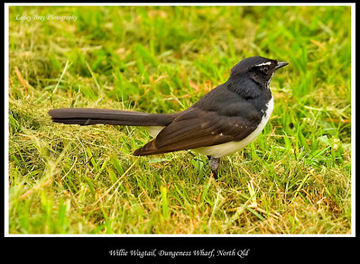 Willie Wagtail, Rhipidura leucophrys at Dungeness Wharf, North Lucinda, North Queensland, Australia.   Photographed July 2010 - © Lesley Bray Photography