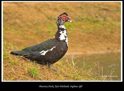 Muscovy Duck, Cairina moschata seen at Tyto Wetlands in Ingham, North Queensland, Australia.   Photographed July 2010 - © Lesley Bray Photography