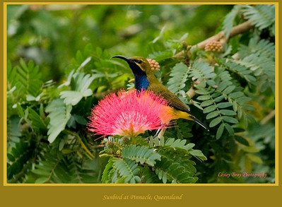 I felt so lucky to capture this one ! Male Yellow-bellied Sunbird, Nectarinia jugularis, also known as a Olive-backed Sunbird at the Pinnacle Hotel, Queensland, Australia.  Photographed August 2010 - © Lesley Bray Photography