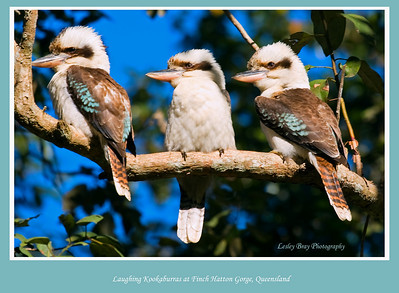 Three birds in the hand is better than one !!  Laughing Kookaburras, Dacelo novaeguineae, sitting on a branch at Finch Hatton Gorge, west of Mackay, Queensland, Australia.  Photographed August 2010 - © Lesley Bray Photography