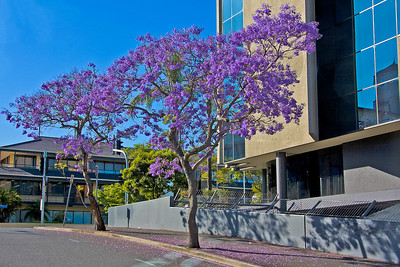 Monday 20 October 2008 - Jacaranda trees in Fortitude Valley - promise this is the last time I will post Jacaranda trees - it is just that they are in bloom everywhere in the city and I can't help myself.