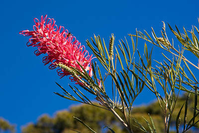 Native Grevillea - attracts the birds and the bees