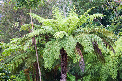Tree Ferns are everywhere in these mountains - taken in the rain.